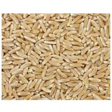 Grains Kamut Berries (1x25LB )